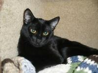 "Adult Male Cat - Domestic Short Hair: ""Zephyr"""