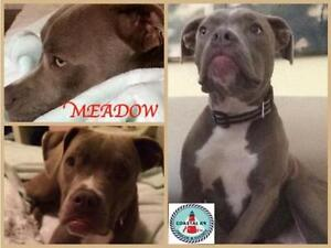 """Young Female Dog - Pit Bull Terrier: """"Meadow"""""""