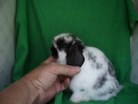PUREBRED Holland Lop, Netherland Dwarf and Lionhead Bunnies