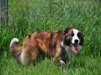 """Adult Male Dog - Australian Shepherd: """"BANDIT"""""""