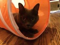 Young Male  - Russian Blue-Domestic Short Hair