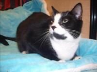 "Adult Female Cat - Domestic Short Hair-black and white: ""Oreo"""