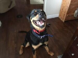 "Young Male Dog - Rottweiler: ""Bebe"""