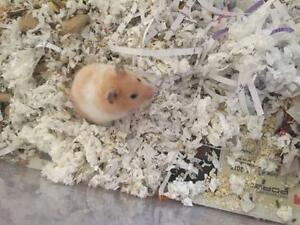 "Young Male Small & Furry - Hamster: ""Ryan"""