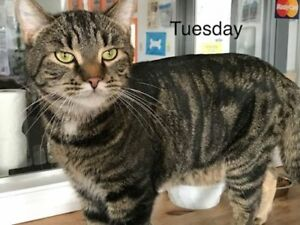 "Adult Male Cat - Tabby: ""Tuesday"""