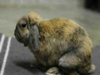 "Adult Male Rabbit - Mini-Lop: ""CESAR"""