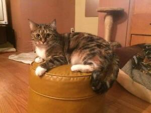 "Adult Female Cat - Domestic Short Hair: ""Lola"""