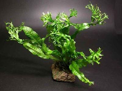 Windelov Fern-for fish tank algae eater flowerhorn BT