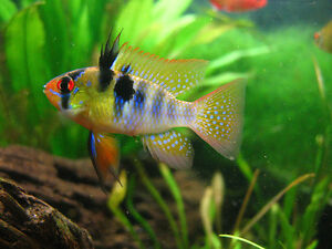 GBR  and 2 albino tetras for sale