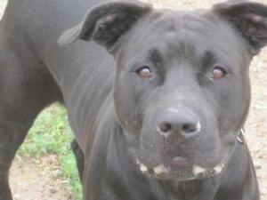 "Young Male Dog - Pit Bull Terrier-Mastiff: ""Bo"""