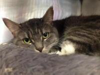 "Adult Female Cat - Domestic Short Hair: ""Charlotte"""