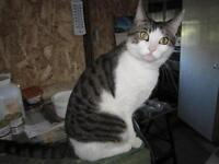 "Adult Male Cat - Domestic Short Hair - buff and white: ""Gamin"""