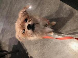 "Baby Female Dog - Shih Tzu-Brussels Griffon: ""Princess"""