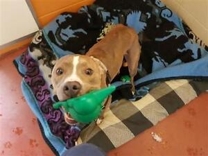 "Adult Male Dog - Pit Bull Terrier: ""Ralph"""