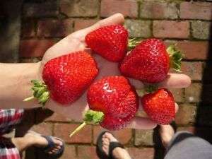 Strawberry Plant ~$10.50 for 3 Healthy Plants ~FREE POSTAGE