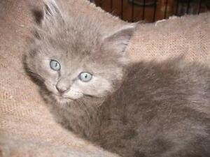 "Young Male Cat - Domestic Medium Hair: ""Sylvio"""