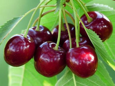 Best Of Cherry Tree Seeds - MIGHTY MIDGET - Large Sweet Cherries 10