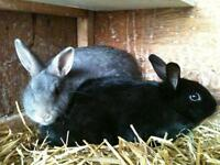 """Young Male Rabbit - Bunny Rabbit: """"Linden and Sycamore"""""""