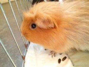 """Adult Female Small & Furry - Guinea Pig: """"Gingins"""""""