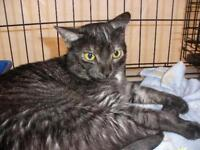 """Young Male Cat - Domestic Short Hair: """"Onyx 15 (surrender)"""""""
