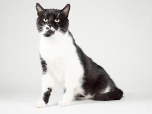 "Adult Male Cat - Domestic Short Hair: ""Charles"" Kingston Kingston Area image 2"