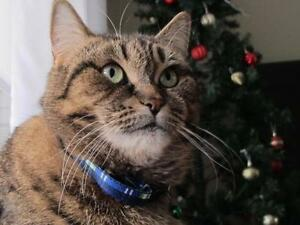 "Adult Female Cat - Domestic Short Hair-Tabby: ""Clarissa"""