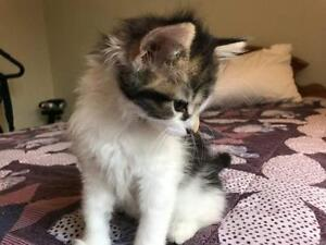 """Baby Female Cat - Calico-Domestic Long Hair: """"Pippy"""""""