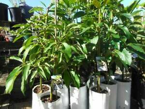 Avocados, grafted trees - Hass, Rincon, Reed, Wurtz West Ballina Ballina Area Preview