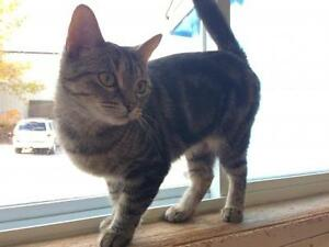 """Young Female Cat - Domestic Short Hair: """"Sneakers"""""""
