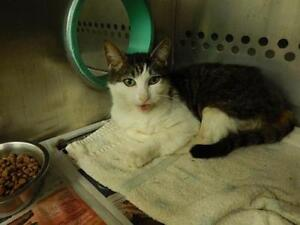 """Adult Male Cat - Domestic Short Hair (Buff & White): """"MARBLES"""""""