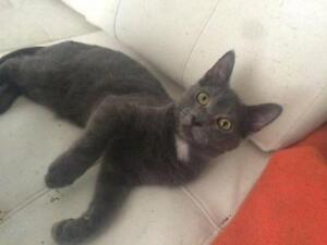 """Young Male Cat - Domestic Short Hair: """"Monkey"""" West Island Greater Montréal image 1"""