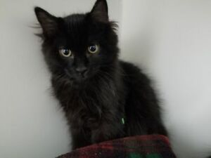 "Baby Male Cat - Domestic Long Hair: ""Cobalt"""
