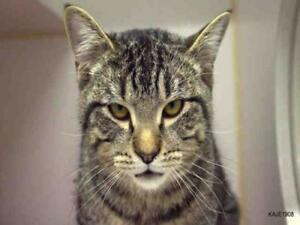 "Young Male Cat - Domestic Short Hair: ""BEAU"""