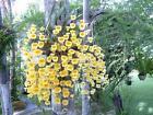 Dendrobium Species