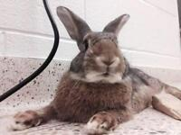 "Adult Male Rabbit - Dwarf-American: ""Aslan"""