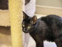 "Young Female Cat - Domestic Short Hair: ""LILY"""