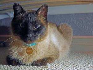 """Adult Female Cat - Siamese: """"Irene Indigo"""""""