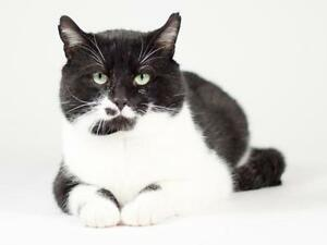 "Adult Male Cat - Domestic Short Hair (Black & White): ""Charles"""