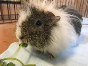 "Adult Male Small & Furry - Guinea Pig: ""Alfie*watch My Video*"""