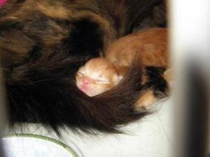 """Baby Female Cat - Domestic Short Hair: """"Kittens!"""""""