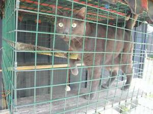 "Adult Male Cat - Domestic Short Hair-Russian Blue: ""Zazu"""