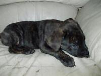 "Baby Female Dog - Mastiff-Labrador Retriever: ""Trouble"""