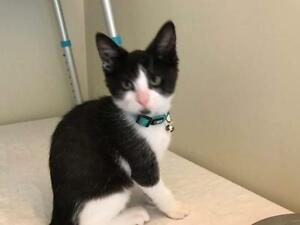 Young Male  - Domestic Short Hair (Black & White)-Tuxedo