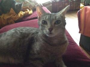 "Adult Female Cat - Tabby - Grey: ""Katze"""