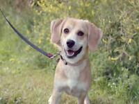 "Young Female Dog - Beagle: ""DIXIE"""