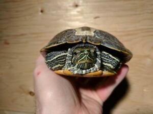 """Adult Male Scales, Fins & Other - Turtle: """"Coke"""""""