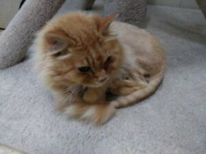 "Senior Male Cat - Domestic Long Hair: ""Winks"""