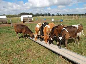 Calves for Sale PH  Caboolture Caboolture Area Preview