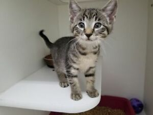 "Baby Female Cat - Domestic Short Hair: ""Bryce"""