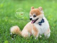 "Senior Male Dog - Pomeranian: ""Louie"""